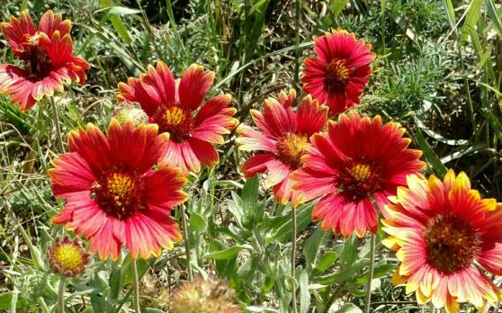 blanket-flower